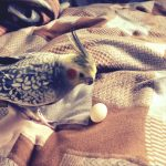 オカメインコが卵を産んだ!実は命がけな産卵の対処法
