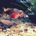 金魚水槽に新しい仲間が増えました!